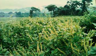 The Phytolacca dodecandra plantation Ethio Agri-CEFT has developed at its 'Gemadro' farm, South-East Ethiopia
