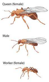 queen , male and worker ants