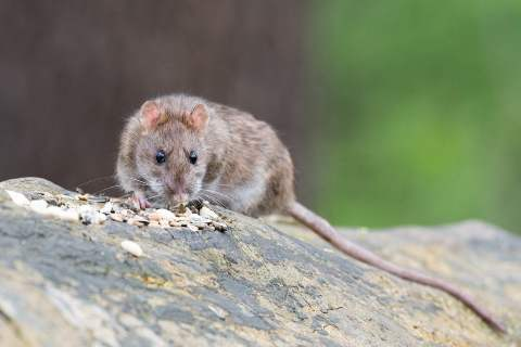 A brown rat climbing on a tree