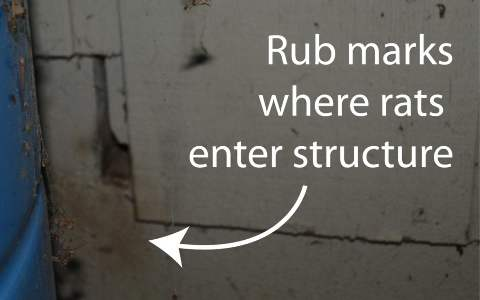 rub marks where rats enter structure