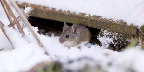rodent in the snow upclose